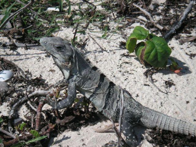 Reptilien in Tulum