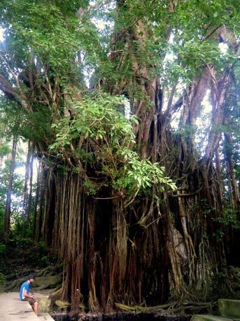 Ein 400 Jahre alter Baum
