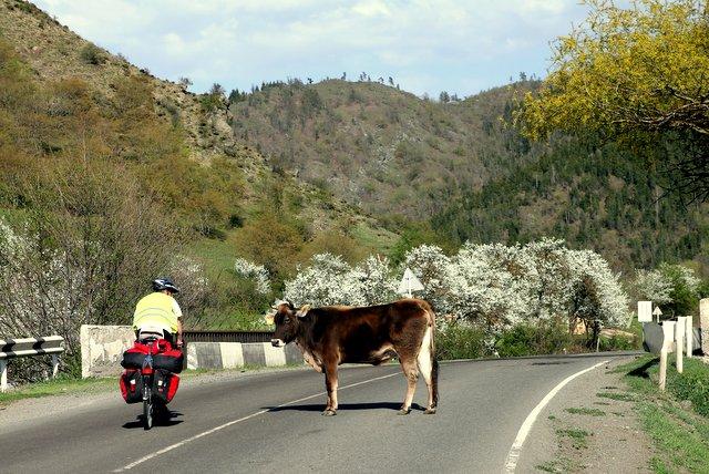 Dass diese Kuh sich von Felix nicht beeindrucken lässt, kann ich ja noch verstehen. Aber selbst hupende Reisebusse haben es nicht geschafft sie von der Straße zu vertreiben.