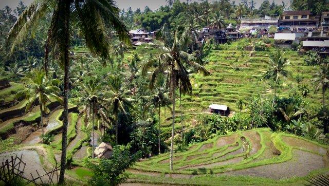 Reisterassen in Tegalalang